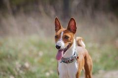 Promenade de chiens de Basenji en parc Ressort Photos stock