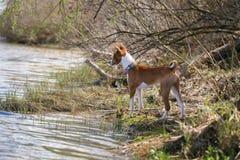Promenade de chiens de Basenji en parc Ressort Images libres de droits