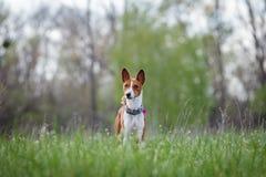 Promenade de chiens de Basenji en parc Ressort Photo libre de droits