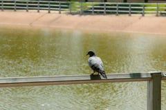 Promenade de colombe en parc Image libre de droits