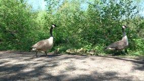 Promenade de famille d'oies de Canada banque de vidéos