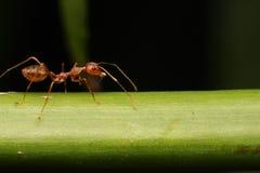 Promenade de fourmi sur des brindilles Photo libre de droits