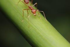 Promenade de fourmi sur les brindilles Image stock