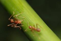 Promenade de fourmis sur des brindilles Photographie stock libre de droits