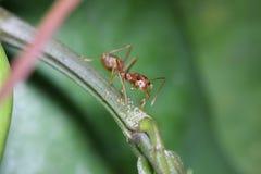 Promenade de fourmis sur des brindilles Photo libre de droits
