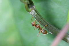 Promenade de fourmis sur des brindilles Photos libres de droits