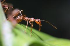 Promenade de fourmis sur la feuille Photographie stock