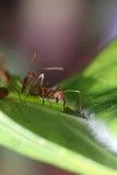 Promenade de fourmis sur la feuille Images libres de droits