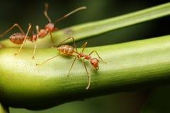 Promenade de fourmis sur les brindilles Photo stock