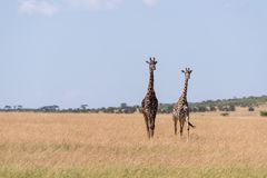 Promenade de girafe de deux masais dans la longue herbe images libres de droits