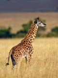 Promenade de giraffe de chéri sur la savane au coucher du soleil Photo libre de droits