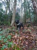 Promenade de Labrador de chien noir chez l'animal de forêt images libres de droits
