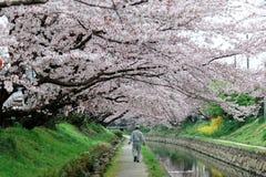 Promenade de loisirs le long d'un sentier piéton sous une arcade romantique des arbres roses de fleurs de cerisier Photos libres de droits