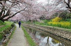 Promenade de loisirs le long d'un sentier piéton sous une arcade romantique des arbres roses de fleurs de cerisier Image libre de droits