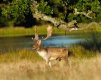 Promenade de mâle de cerfs communs affrichés par coucher du soleil de Lake At Image libre de droits
