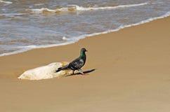 Promenade de pigeon sur le rivage Photographie stock