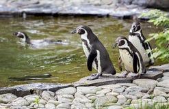 Promenade de pingouins Images libres de droits