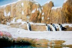 Promenade de pingouins dans la rangée photo stock