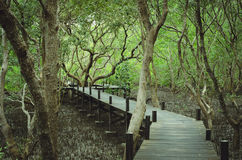 Promenade de voie par la forêt de palétuvier image libre de droits