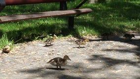 'promenade' del pato de la familia en el jardín botánico metrajes