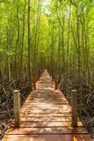 Promenade en mangrovebos Stock Afbeelding