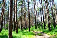 Promenade en parc parmi les pins au printemps photos stock