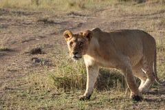Promenade femelle de lionne dans le maasai sauvage Mara images libres de droits