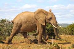 Promenade heureuse d'éléphant Photo stock