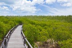 Promenade im Mangrovewald Stockbild