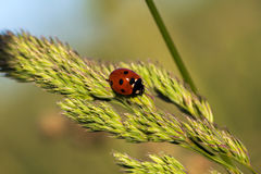 Promenade. Ladybug on the wild grass. Macro photography of wildlife Royalty Free Stock Photo