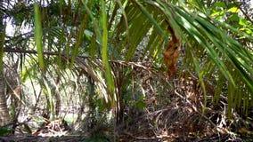 Promenade par la jungle Nous traversons des bosquets, des arbres, des buissons verts et des palmiers banque de vidéos