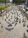 Promenade parmi les pigeons photo libre de droits