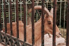 promenade sur la passerelle Cerfs communs dans la cage Image libre de droits