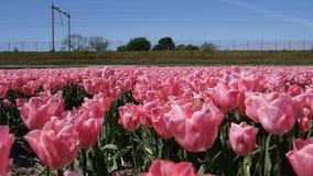 Promenade sur les tulipes roses clips vidéos