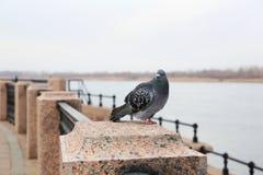 Promenade of Volga river, Astrakhan, Russia. Pigeon on promenade of Volga river, Astrakhan, Russia Stock Image