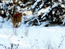 Promenades de chat de gingembre dans les bois neigeux image libre de droits
