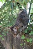 Promenades de chat de tigre sur une barrière couverte d'usine de plante grimpante Photos stock