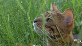 Promenades de chat du Bengale dans l'herbe Il montre différentes émotions Photo libre de droits
