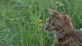 Promenades de chat du Bengale dans l'herbe Il montre différentes émotions images stock