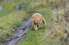 Promenades de chat rouges dans l'herbe d'automne sur une laisse Image stock