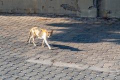 Promenades de chat tricolores égarées sur le trottoir de pavé rond photographie stock libre de droits