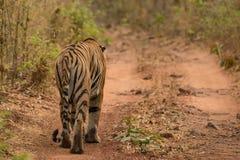 Promenades de tigre de Bengale loin le long de voie de région boisée Images libres de droits