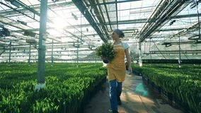 Promenades femelles de jardinier près des lits de fleurs avec des tulipes en serre chaude banque de vidéos