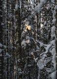 Promień w zima lesie Zdjęcie Royalty Free
