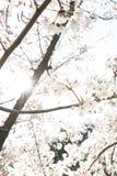 Promienie światła omijanie przez gałąź Sakura kwitną obrazy royalty free