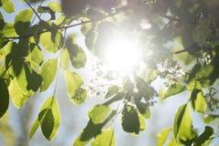 Promienie światło, świecenie, kwitnący drzewo w parku Zdjęcie Royalty Free