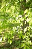 Promienie światło, świecenie, kwitnący drzewo w parku Obrazy Royalty Free