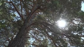 Promienie słońce robią ich sposobowi przez gałąź stary cedr zdjęcie wideo
