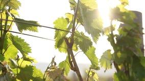 Promienie słońce są widoczni przez liści winogrono zbiory