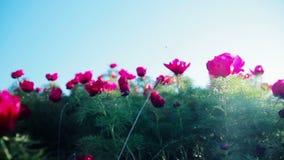 Promienie słońce są widoczni przez płatków dziki peonia kwiat zbiory